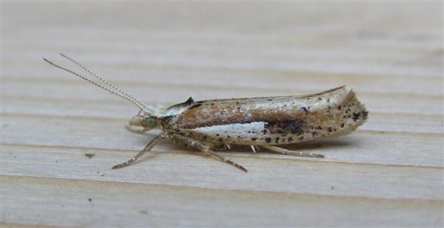Ypsolopha parenthesella. Copyright: Stephen Rolls