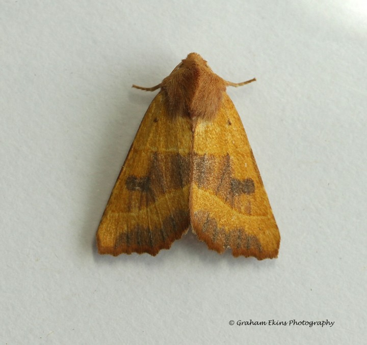 Centre-barred Sallow  Atethmia centrago 1 Copyright: Graham Ekins