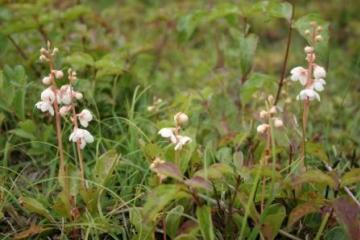 Pyrola rotundifolia Copyright: Peter Harvey