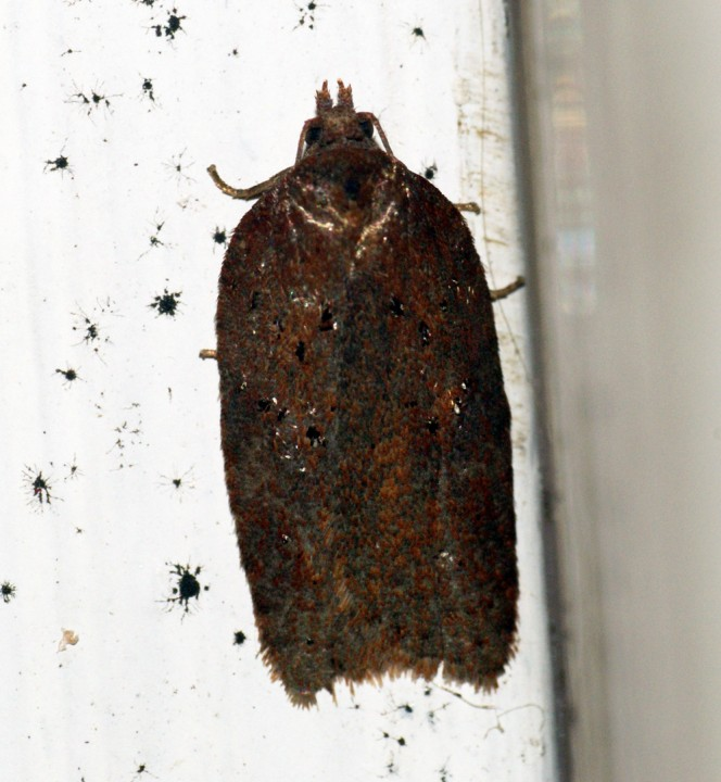 Acleris hastiana Copyright: Ben Sale