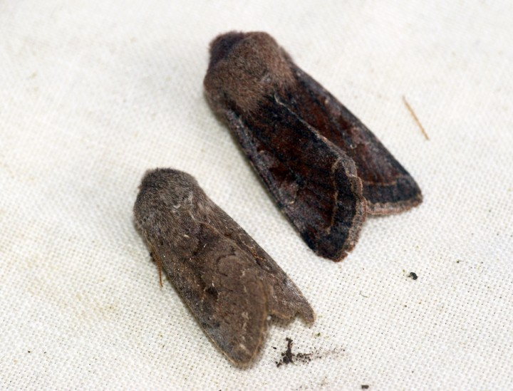 Lead-coloured Drab and Clouded Drab for comparison Copyright: Ben Sale