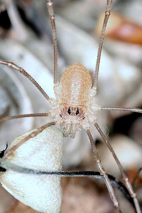 Rilaena triangularis - juvenile2 (1 May 2011) Copyright: Leslie Butler