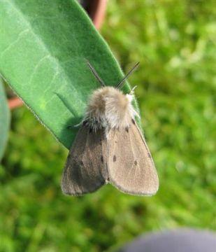 Muslin Moth. Copyright: Stephen Rolls