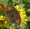 Meadow Brown (female) Copyright: Robert Smith