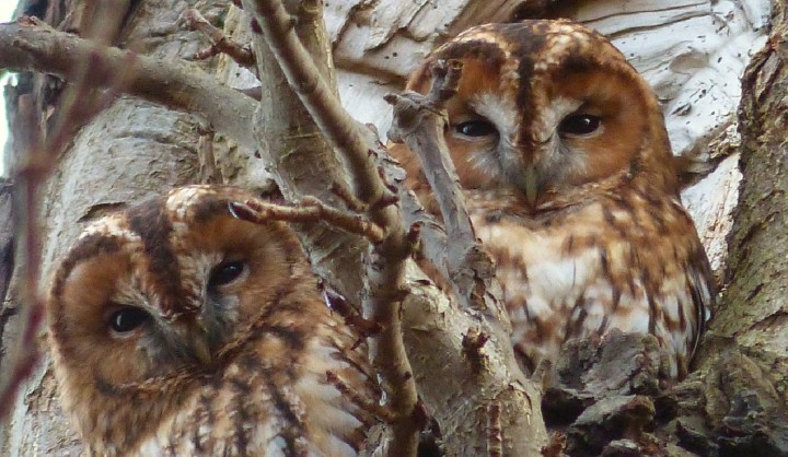 Tawny Owl 2 Copyright: Ralph Hancock