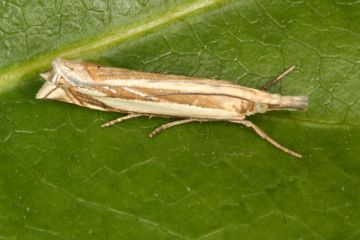Crambus pascuella Copyright: Peter Harvey