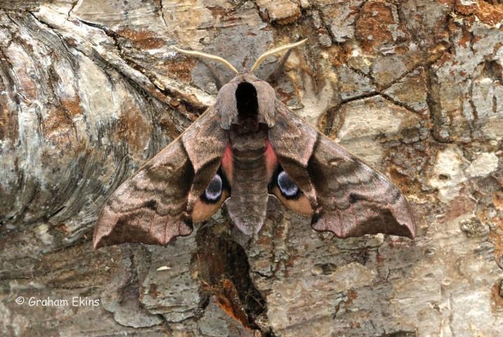 Eyed Hawk-Moth Smerinthus ocellata Copyright: Graham Ekins