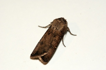 Turnip Moth 4 Copyright: Ben Sale