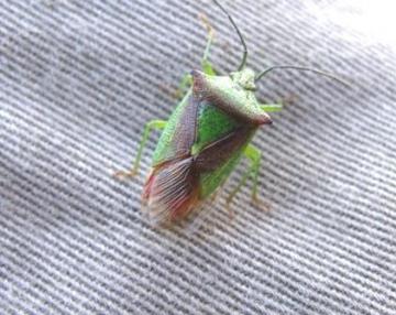 Acanthosoma haemorrhoidae Copyright: Graham Smith