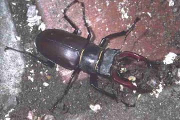 Stag Beetle Copyright: Peter Harvey