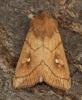 Brown-line Bright Eye  Mythimna conigera  3 Copyright: Graham Ekins