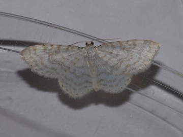 Asthena albulata Copyright: Peter Furze