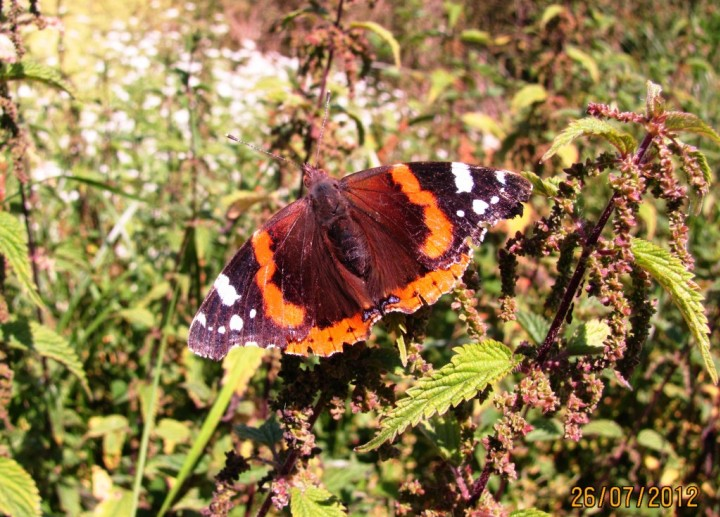 Red Admiral 3 Copyright: Graham Smith