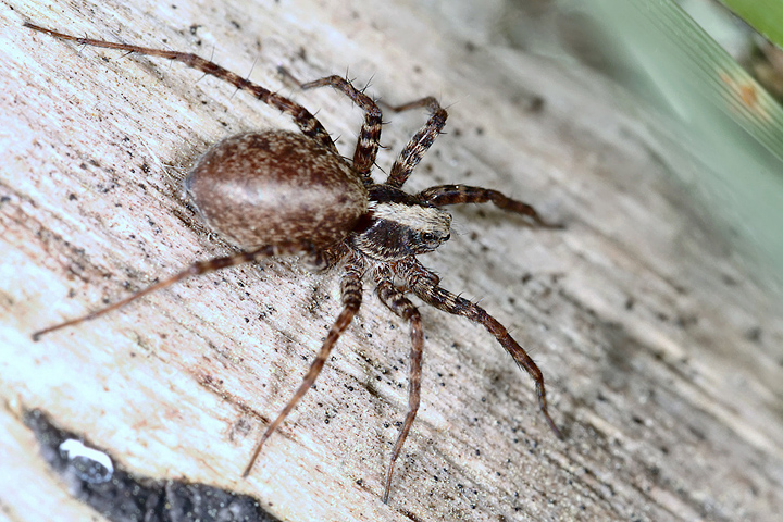 Pardosa amentata - female4 (1 May 2011) Copyright: Leslie Butler