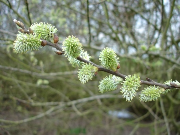 Goat Willow catkins Copyright: Graham Smith