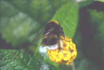 Bombus lucorum sens. str. Copyright: Peter Harvey