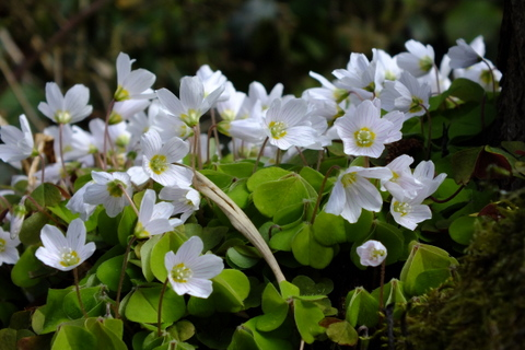 Oxalis acetosella Wood Sorrel Copyright: Peter Pearson