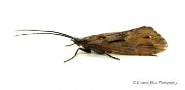 Phryganea bipunctata Copyright: Graham Ekins