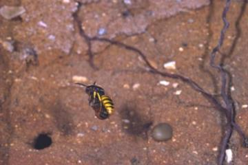 Philanthus triangulum