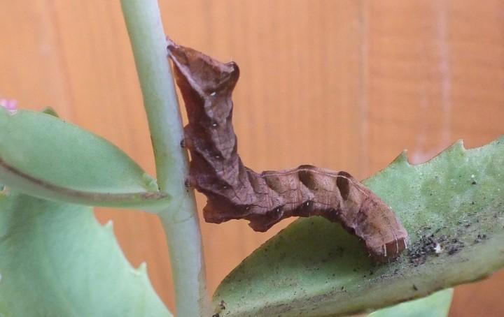 Melanchra persicariae caterpillar brown form Copyright: Peter Pearson