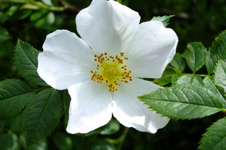 Dog Rose Copyright: Peter Pearson