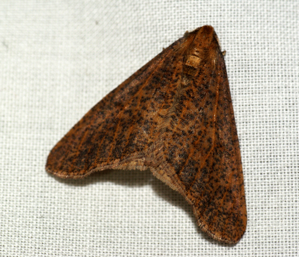 Mottled Umber 5 Copyright: Ben Sale