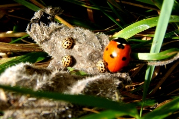 16-Spot Ladybirds sunning with 7-Spot Copyright: Peter Pearson