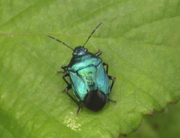 Blue Shield Bug Copyright: Malcolm Riddler