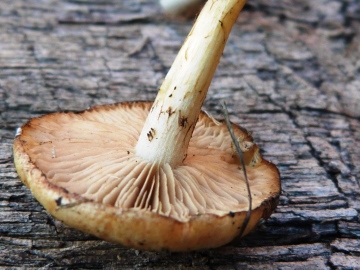 Agrocybe elatella 2 Copyright: Graham Smith