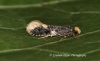 Monopis weaverella 2 GD Copyright: Graham Ekins