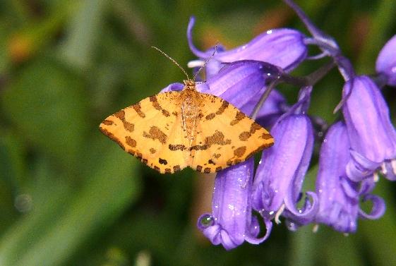 Pseudopanthera macularia Copyright: Peter Furze