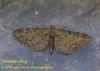 Common Pug  Eupithecia vulgata Copyright: Graham Ekins