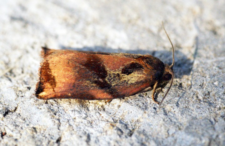 Large Fruit-tree Tortrix (Archips podana) Male Copyright: Ben Sale