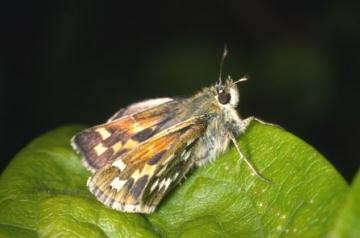 Hesperia comma Copyright: Peter Harvey