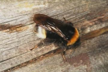 Bombus vestalis Copyright: Peter Harvey