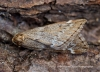 March Moth Alsophila aescularia Copyright: Graham Ekins