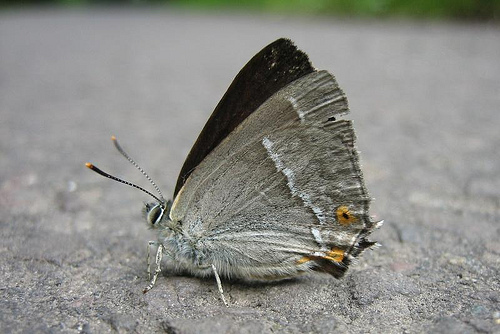 Purple Hairstreak 3 Copyright: Stephen Rolls