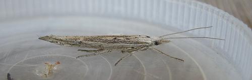 Ypsolopha mucronella. Copyright: Stephen Rolls