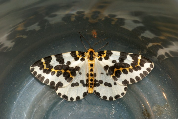 Magpie Moth 4 Copyright: Ben Sale