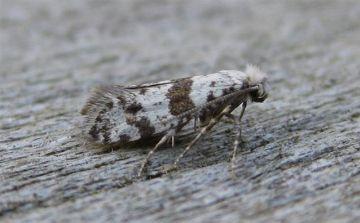Scythropia crataegella. Copyright: Stephen Rolls