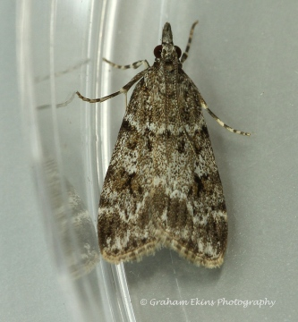 Scoparia ambigualis Copyright: Graham Ekins