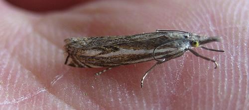 Crambus lathoniellus. Copyright: Stephen Rolls