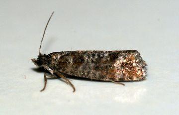 Spotted Shoot Moth (Rhyacionia pinivorana) Copyright: Ben Sale