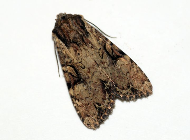 Clouded-bordered Brindle Copyright: Ben Sale