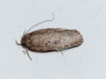 Agonopterix scopariella Copyright: Peter Furze