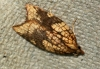 Acleris rhombana 3 Copyright: Ben Sale