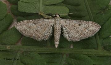 Yarrow Pug Eupithecia millefoliata Copyright: Graham Ekins
