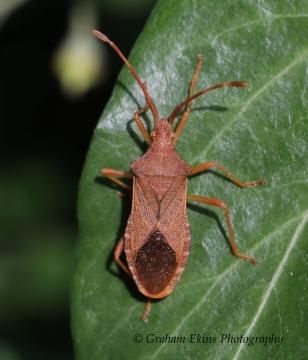 Gonocerus acuteangulatus 3 Copyright: Graham Ekins
