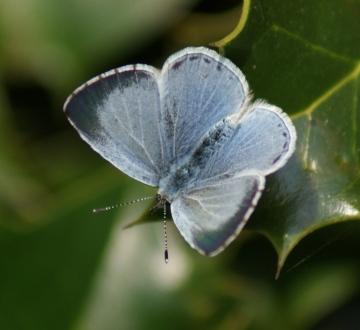 Holly Blue (female) Copyright: Robert Smith