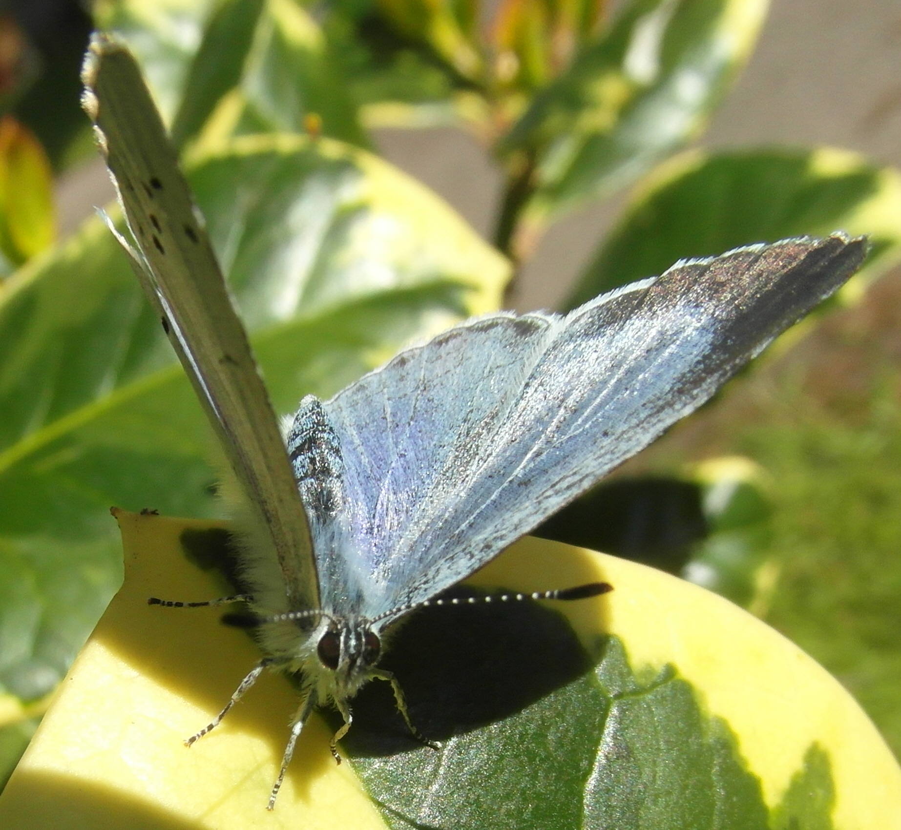 Holly Blue (3) Copyright: Justin Carroll